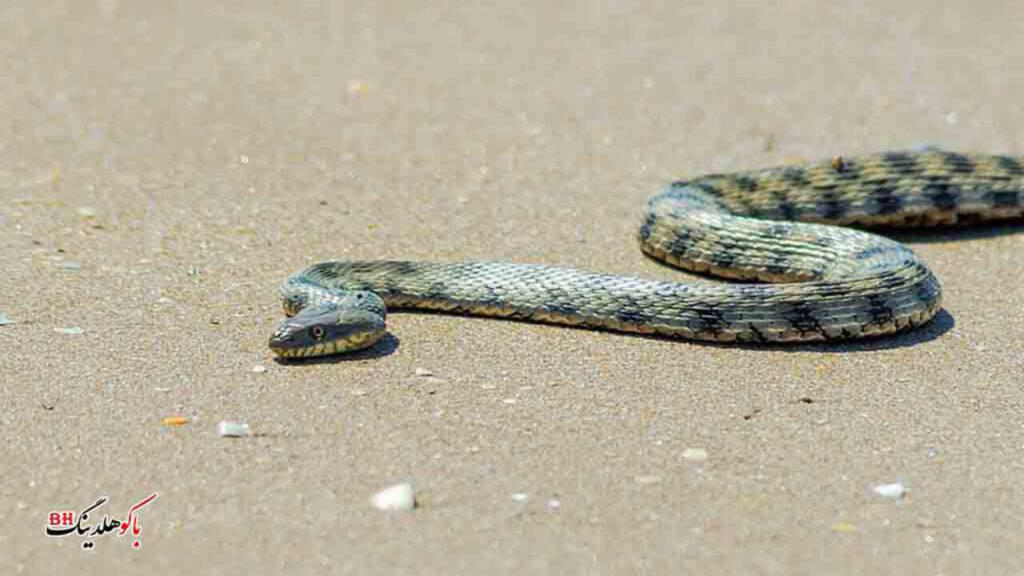 تصویری از یک مار در پارک ملی آبشرون